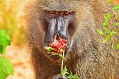 zziketropicalsafaris_baboons-in-uganda