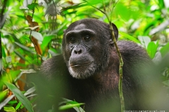 zziketropicalsafaris_chimpanzee-trekking