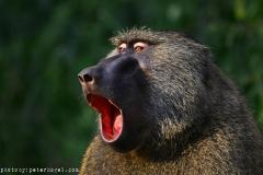 zziketropicalsafaris_primates