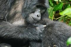 zziketropicalsafaris gorilla trips uganda