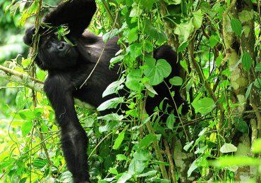 9 Day Gorilla Trekking
