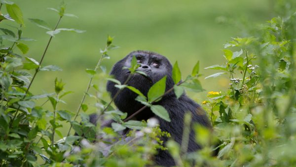 GORILLA TRACKING ZZIKE TROPICAL TOURS