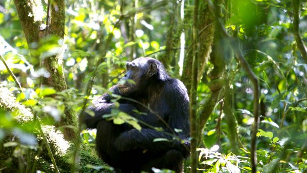 3 DAYS CHIMPANZEE TREKKING SAFARI KIBALE